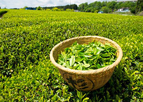 SHINCHA GREEN TEA