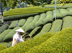Japanese Tea Harvest